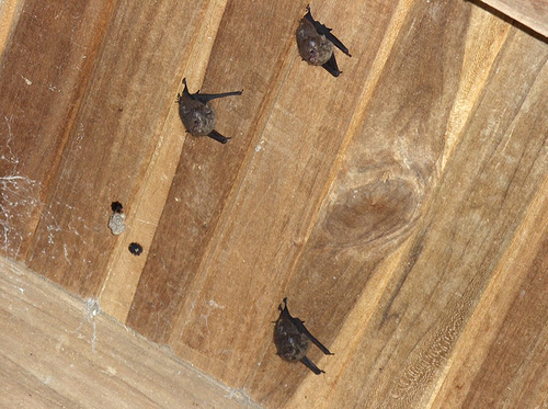 Bat Removal From The Home