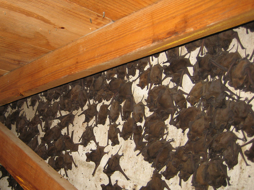 Bat Removal Services Denver Bat Problem Denver Colorado