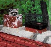 Animal Removal Denver Raccoon